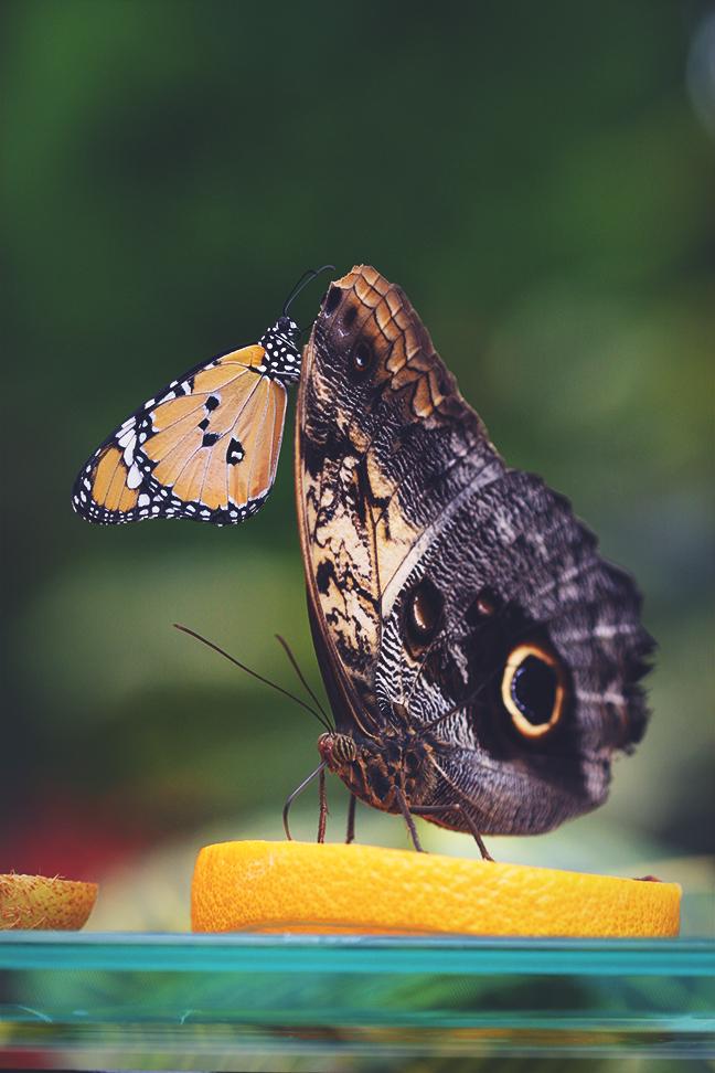 butterflies_2015_3