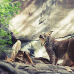 Wordless Wednesday : Lynx at the Biodome of Montreal